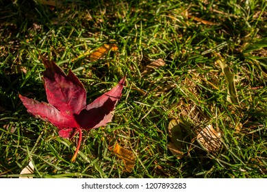 Close-up view of a red maple leaf on the ground with green grass