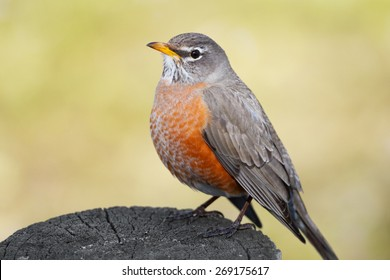 A closeup view of a red-breasted American Robin sitting on a post in early spring.