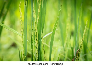 Closeup view of rice ear with blurred background of rice terraces before harvest season in Asia.Organic farming concept