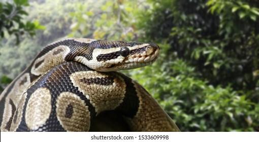 Nahaufnahme eines königlichen Pythons (Python regius)