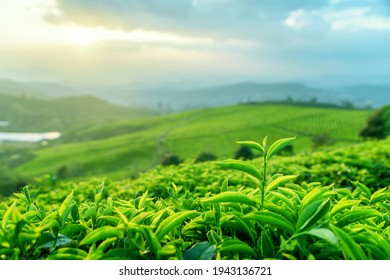 Closeup view of scenic young upper fresh bright green tea leaves at tea plantation at sunset. Rows of tea bushes and evening sky are visible in background. Beautiful summer rural landscape.