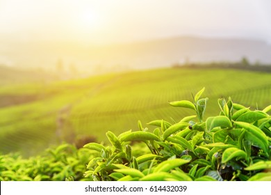 Closeup view of scenic young upper fresh bright green tea leaves at tea plantation in rays of sunset.