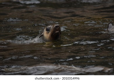 A closeup view of a sealion swimming in the water