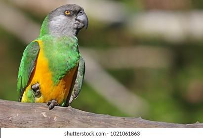 Close-up view of a Senegal Parrot (Poicephalus senegalus)