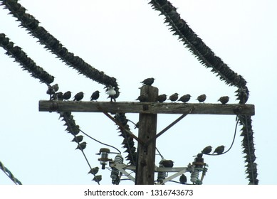 Closeup view of several sparrow birds migration stop on a telephone pole wires during the autumn months of Canada.