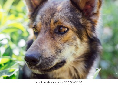 Close-up view of a shepherd dog looking and tongue tiring with playfulness near home. Close up view of a head of a brown shepard in the spring yard. Smart eyes of animal. Playful pet.