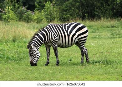Closeup view of single herbivorous striped zebra grazing on a green grass lawn, Opole zoo, Poland