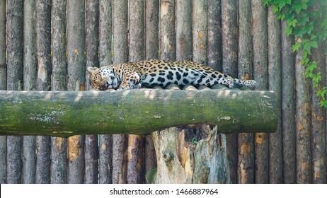 Closeup view of sleeping jaguar in the zoo.