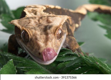 A closeup view of a small Crested  gecko is licking his lips