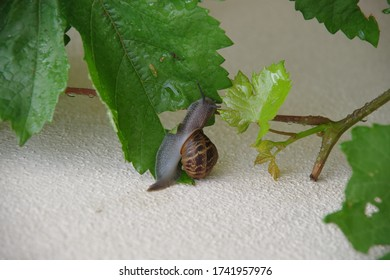 Close-up view of a snail climbing up upon a wine plant leaf