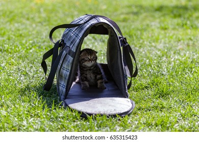 Close-up view of soft portable pet carrier with a purebred Scottish Fold kitten inside at the blurred background of the green meadow