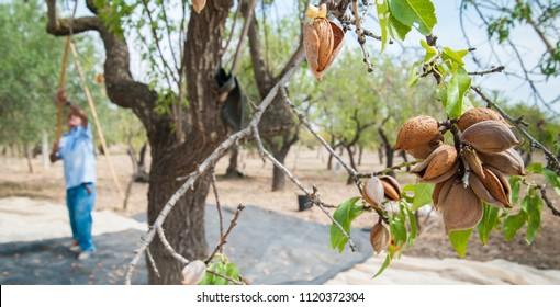 Closeup view of some almonds on a tree during harvest time in Noto, Sicily