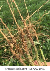 closeup view of soybean roots in field showing root nodules that contain rhizobium bacteria