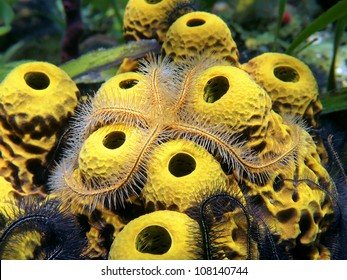 Close-up view of a sponge brittle star, Ophiothrix suensonii, over yellow tube sponges