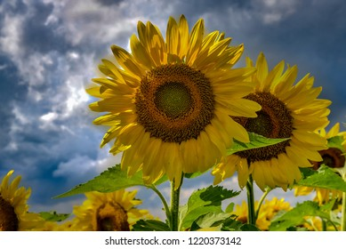 Closeup view of a sunflower with a dramatic sky.
