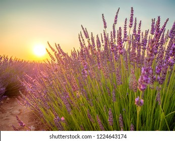 Closeup view of sunset over violet lavender field in Provence, France