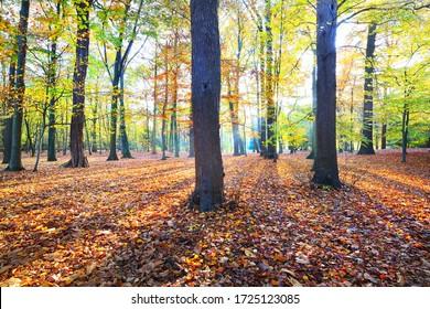 ナチテガレン公園内の高い古代の金色のブナの木の接写。 太陽は木の幹を通って光り、地面に影を落とします。 赤、オレンジ、黄色の葉の森の床。 ベルギー,アントワープ
