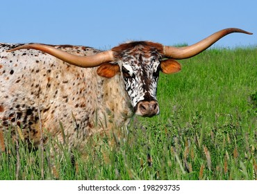 Close-up view of a Texas Longhorn cow with an exceptionally pretty face.