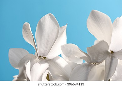 Closeup view of three pure white blossoms of cyclamen which illustrates their floral shadow play against a blue background