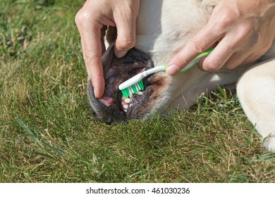 Closeup view of the toothbrushing of the Golden Retriever dog.