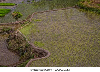 Close-Up View of Traditional Asian Rice Paddy on Terrace on Hillside. Rice Stalks in Standing Water, Recently Planted. No People. (Banaue, Philippines).