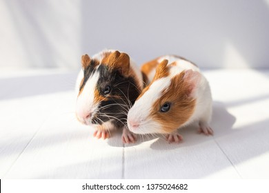 Closeup view of two cute small baby guinea pigs on sunny white background. Horizontal color photography.