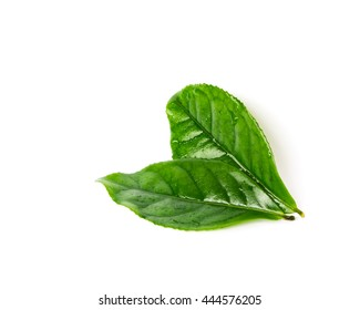 Close-up view two leafy young fresh green tea leaves isolated on white background. Its freshly picked from home growth organic tea plantation. Food concept with clipping path and copy space.