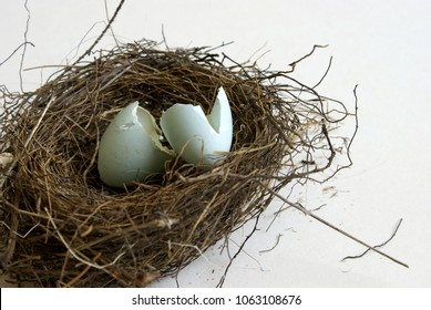 Closeup view of two Robin eggs hatched inside the springtime nest.