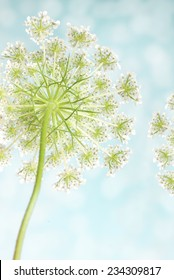 Close-up view of the underside of the wildflower, Queen Anne's Lace with a bokeh background and copy space.