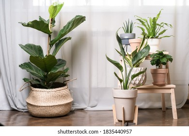 Close-up view of various beautiful green houseplants in pots on white, urban jungle - Shutterstock ID 1835440957