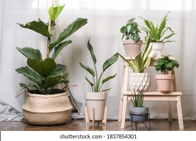 Close-up view of various beautiful green houseplants in pots on white, urban jungle - Shutterstock ID 1837854301