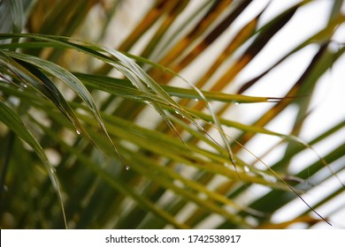 Close-up view of water drops on a palm leaf in the rain