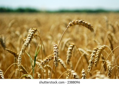 Close-up view of wheat spikes with defocused green trees and a bit of sky in the background, shot from a low perspective with shallow DOF, focus on the top spike