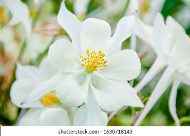 Close-up view of the white Aquilegia columbina flower. Selective focus, shallow depth of field