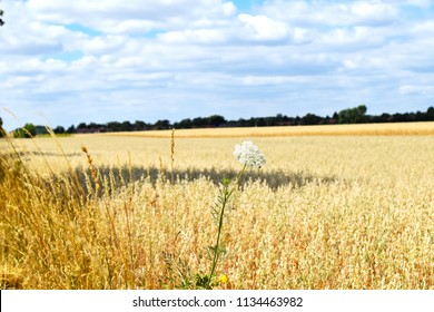 Close-up view of a white yarrow (Achillea Millefolium) in front of golden grain fields under a blue sky with white clouds