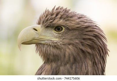 Close-up view of a White-tailed Eagle (Haliaeetus albicilla)