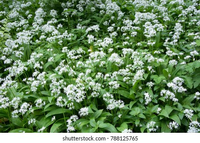 Closeup view of Wild Garlic Flowers