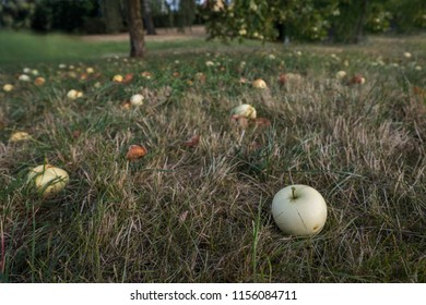 Close-up view of windfall apples on a grassland