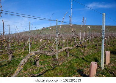 Closeup of vines, for the production of champagne, in the Champagne region, during the winter period.