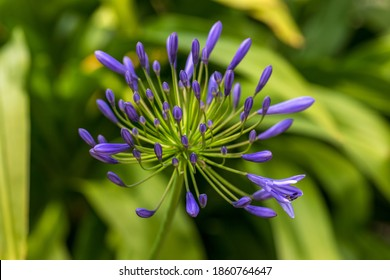 Close-up of violet agapanthus flower commonly known as lily of the Nile. Photography of lively nature.