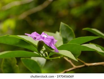 Closeup of violet brunfelsia jasmine flower