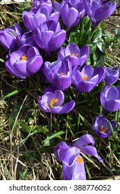 Closeup of Violet Crocuses in Early Spring, orientation portrait