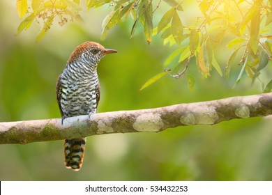 Closeup of  violet cuckoo bird female with rufous head  white and brown bars body resting in bright and clear morning light,over shoulder shot.Beautiful cuckoo bird.