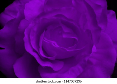 Close-up of a violet fabric rose