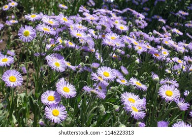 Closeup of violet flowers of aspen fleabane