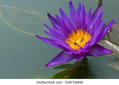 Close-up of violet water lily or lotus flower with bees catch at yellow pollen for drink nectar and bring to pollenation with others.