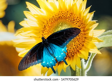 Closeup Of A  vivid blue and black butterfly feeds on a beautiful large yellow sunflowers. Blurred Background.  Summer Concept.