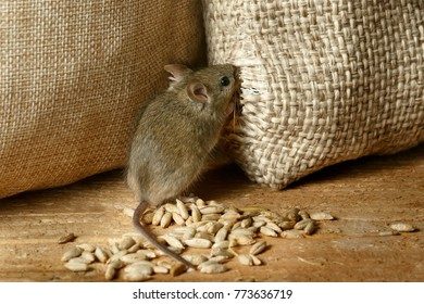 closeup the vole mouse nibbles the sack of grain in the  storehouse