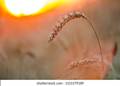 Close-up of warm colored golden yellow ripe focused wheat heads on sunny summer day on soft blurred foggy meadow wheat field light brown background. Agriculture, farming and rich harvest concept.