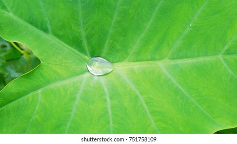 Close-up, Water drop on the lotus leaf